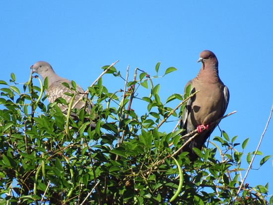 Picazuró-Paloma manchada/Picazuro - Spot-winged Pigeons