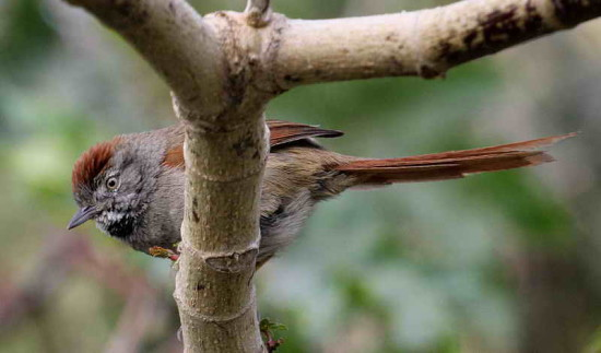 Pijuí frente gris/Sooty-fronted Spinetail