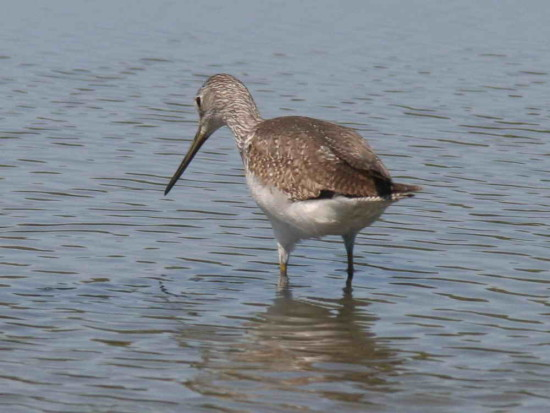 Pitotoy grande/Greater Yellowlegs