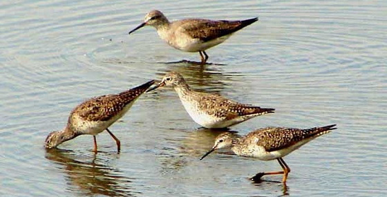 Pitotoy chico/Lesser Yellowlegs