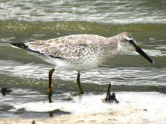 Playero rojizo/Red Knot
