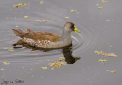 Pollona-pintada/Spot-flanked Gallinule