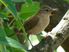 Ratona común/House Wren