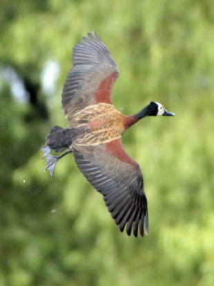 Sirirí pampa/White-faced Whistling- Duck