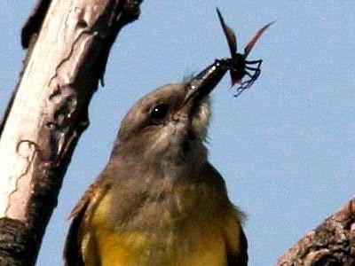 Suirrí real/Tropical Kingbird