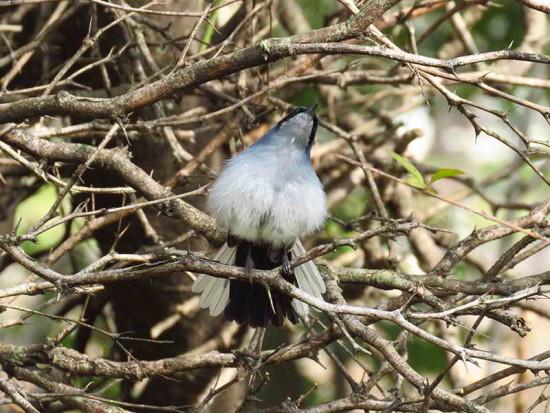 Tacuarita azul/Masked Gnatcatcher