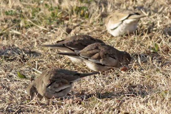 Torcacita comú/Picui Ground Dove