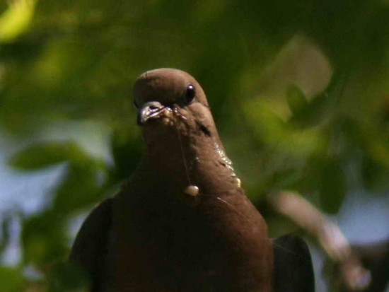 Torcaza común/Eared Dove