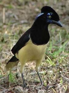 Urraca común/Plsuh-crested Jay