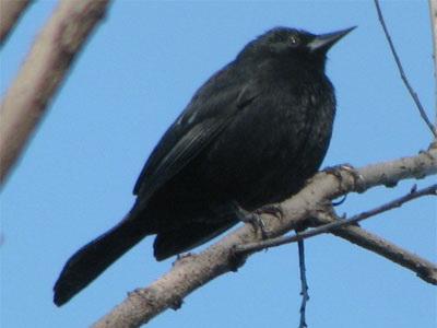 Varillero negro/Unicolored Blackbird