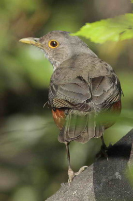 Zorzal colorado/Rufous-bellied Thrush