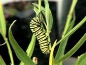 Monarca/Southern Monarch