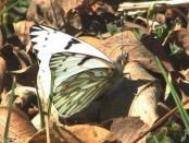 Lechera común/Common White-milk