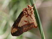 Citheronia/Citheronia