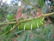 Mariposa de las chilcas/Rothschildia