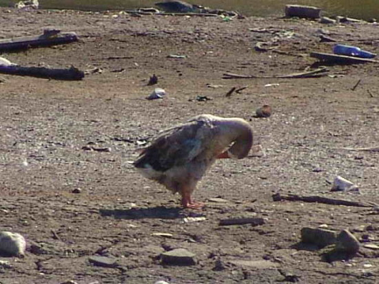Ganso doméstico/Graylag Goose