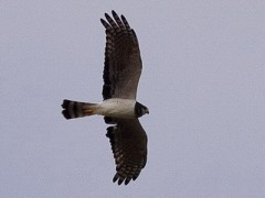 Gavilán planeador/Long-winged Harrier