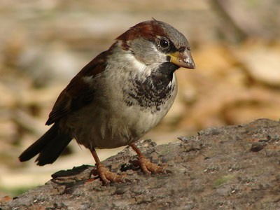 Gorrión/House Sparrow