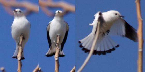 Monjita blanca/White Monjita