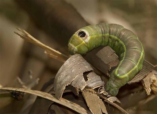 Oruga gusano de la yuca/Ello Sphinx Moth Caterpillar