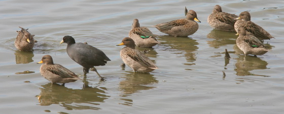 Pato barcino/Speckled Teal