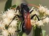 avispa cazadora de arañas/Spider Wasp