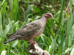 Picazuró/Picazuro Pigeon