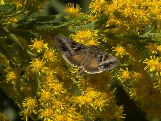 Lagarta del girasol/Sunflower looper