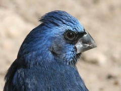 Reinamora grande/Ultramarine Grosbeak