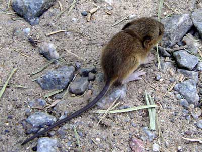 Colilargo menor/Yellow Pygmy Rice Rat