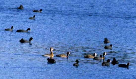 Pato híbrido/Hybrid duck