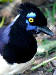 Urraca común/Plush-crested Jay