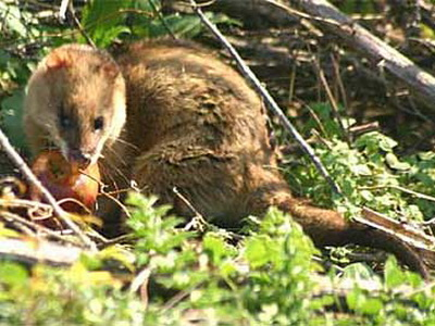 Comadreja colorada/Thick-tailed Opossum