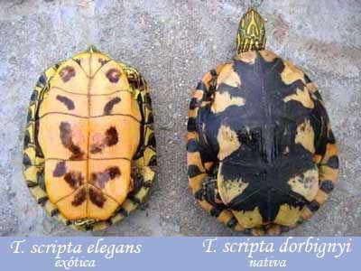 Tortugas pintada y orejas rojas/Painted and Red-eared Turtles