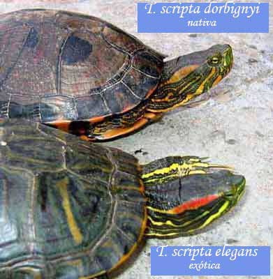 Tortugas pintada y orejas rojas/Painted and Red-eared Turtles