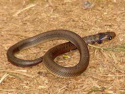 Culebra parda/Water Snake