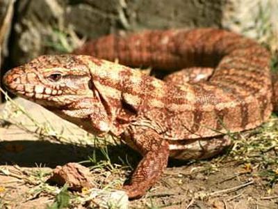 Lagarto colorado/Red Tegu Lizard