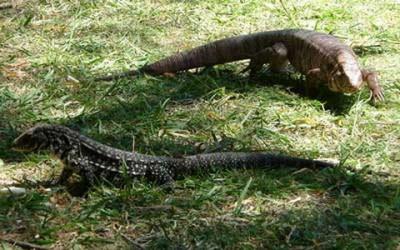 Lagartos overo y colorado/Black-and-white and Red Tegu Lizards