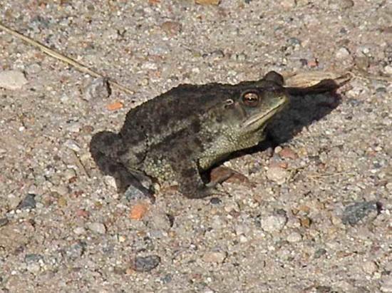 sapito cavador/Bella Vista Toad