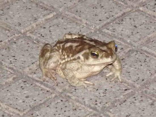 Sapo común/Common Toad