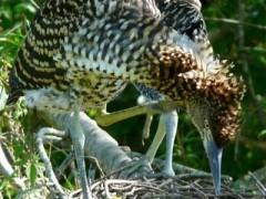 ocó colorado/Rufescent Tiger-Heron