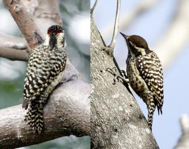 Carpintero bataraz chicoMH/Checkered WoodpeckerMF
