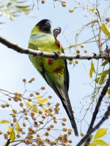 Nanday/Black-hooded Parakeet