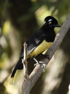 Urraca/Plush-crested Jay