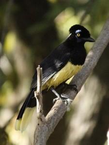 Urraca/Plush-crested Jay