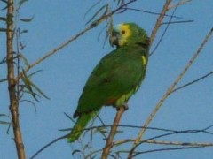 Loro hablador/Turquoise-fronted Parrot