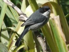 Monterita cabeza negraJ/Black-capped Warbling-Finch