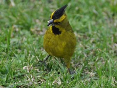 Cardenal amarilloM/Yellow CardinalM