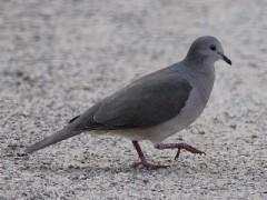 Yerutí común/White-tipped Dove