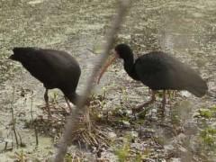 Cuervillo cara pelada/ Bare-faced Ibis